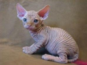 Awesome Sphynx Kittens